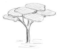 Acacia Tree SK1